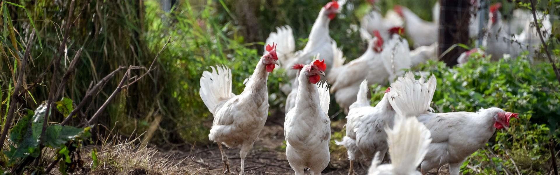 De kippen lopen elke dag heerlijk buiten te scharrelen